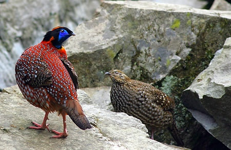 Zhangjiajie Red Belly Pheasant