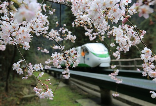 Blooming Flowers Greet Spring in Zhangjiajie